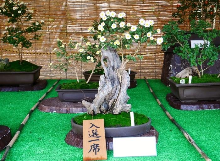 和歌山城公園菊花展  2020-11-28 00:000_b0093754_22530354.jpg