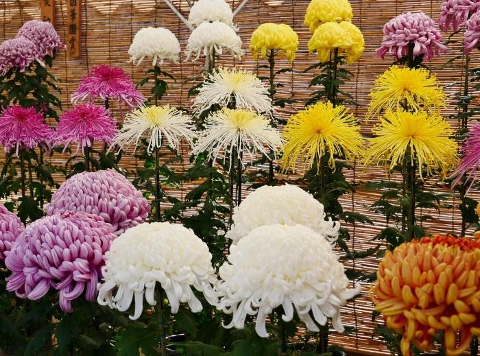 和歌山城公園菊花展  2020-11-28 00:000_b0093754_22540851.jpg