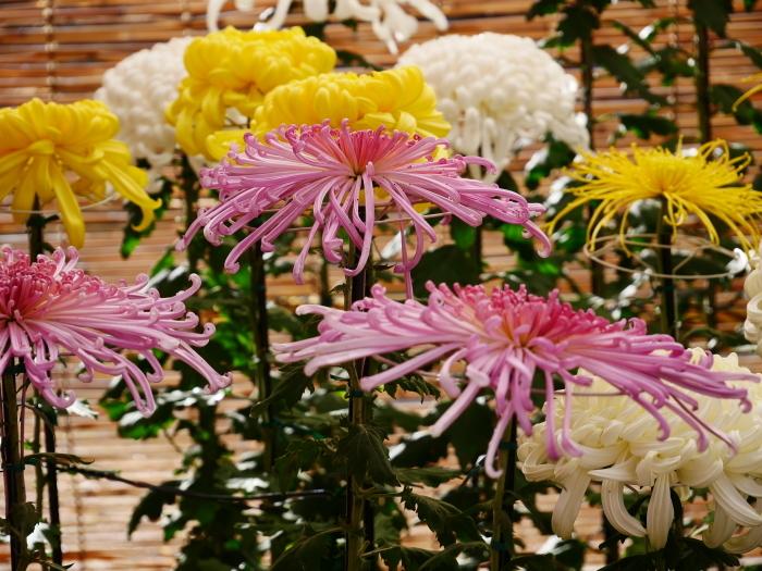 和歌山城公園菊花展  2020-11-28 00:000_b0093754_22542012.jpg