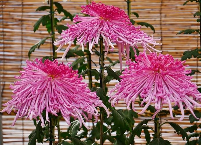 和歌山城公園菊花展  2020-11-28 00:000_b0093754_22543130.jpg