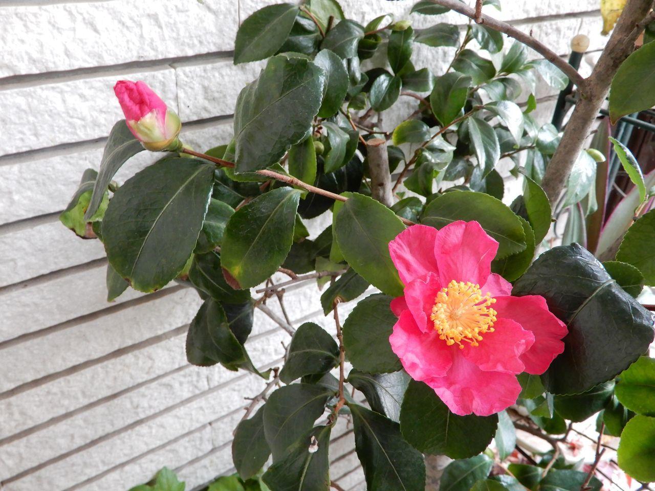 サザンカが咲き、 優しい雪が降りました_c0025115_21430644.jpg