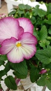 庭のビオラたち / 小さなブーケ_c0152002_11460347.jpg