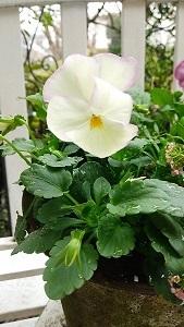 庭のビオラたち / 小さなブーケ_c0152002_11462240.jpg