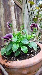 庭のビオラたち / 小さなブーケ_c0152002_11464466.jpg