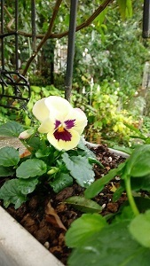 庭のビオラたち / 小さなブーケ_c0152002_11470662.jpg