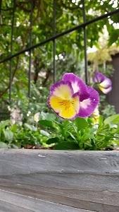 庭のビオラたち / 小さなブーケ_c0152002_11472703.jpg