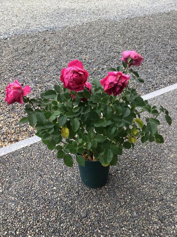 バラと鉢の事_c0404712_10015479.jpg