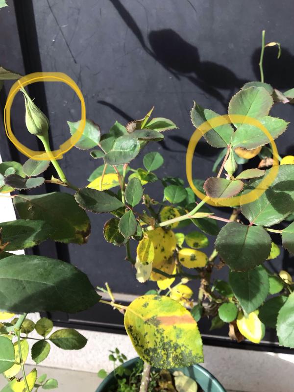 バラと鉢の事_c0404712_10021113.jpg