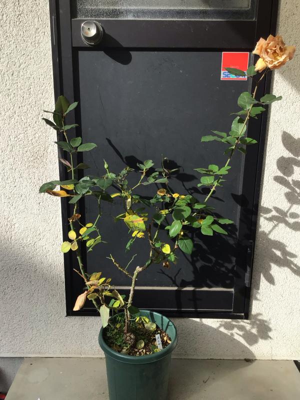 バラと鉢の事_c0404712_10021279.jpg