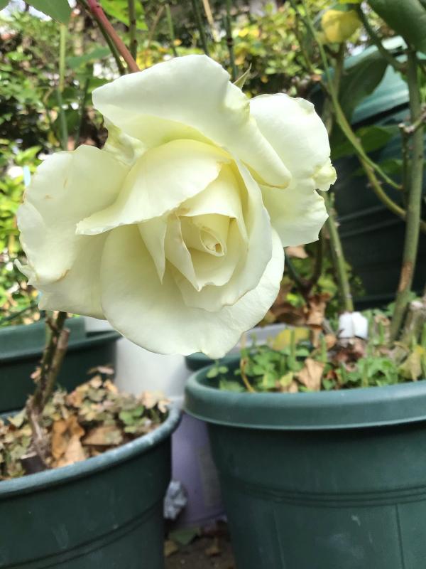 バラと鉢の事_c0404712_10021693.jpg