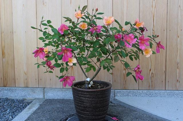 バラと鉢の事_c0404712_10491032.jpg