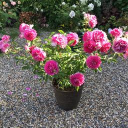 バラと鉢の事_c0404712_10522082.jpg