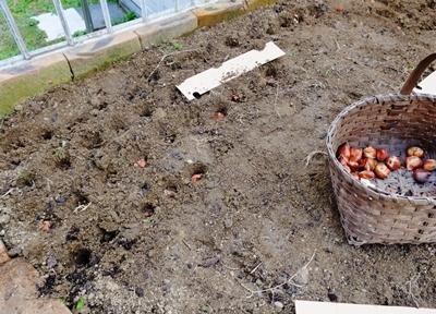 チューリップの球根600球植えました♪_b0194861_17521621.jpg