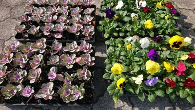 ガーデンふ頭総合案内所前花壇の植替えR2.11.16_d0338682_16583918.jpg