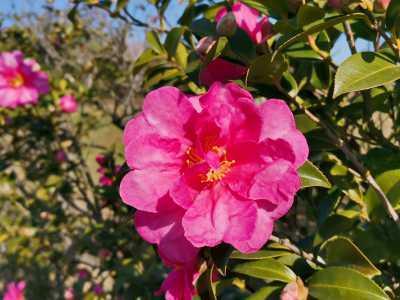 富浜緑地にて、サザンカの花が咲いています♫_d0338682_08513042.jpg