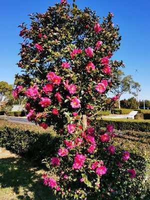 富浜緑地にて、サザンカの花が咲いています♫_d0338682_08522500.jpg