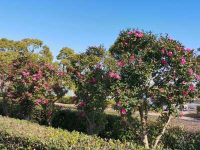 富浜緑地にて、サザンカの花が咲いています♫_d0338682_08533265.jpg
