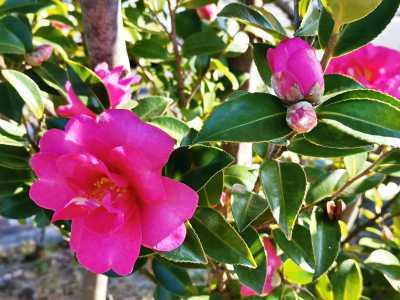 富浜緑地にて、サザンカの花が咲いています♫_d0338682_08545239.jpg