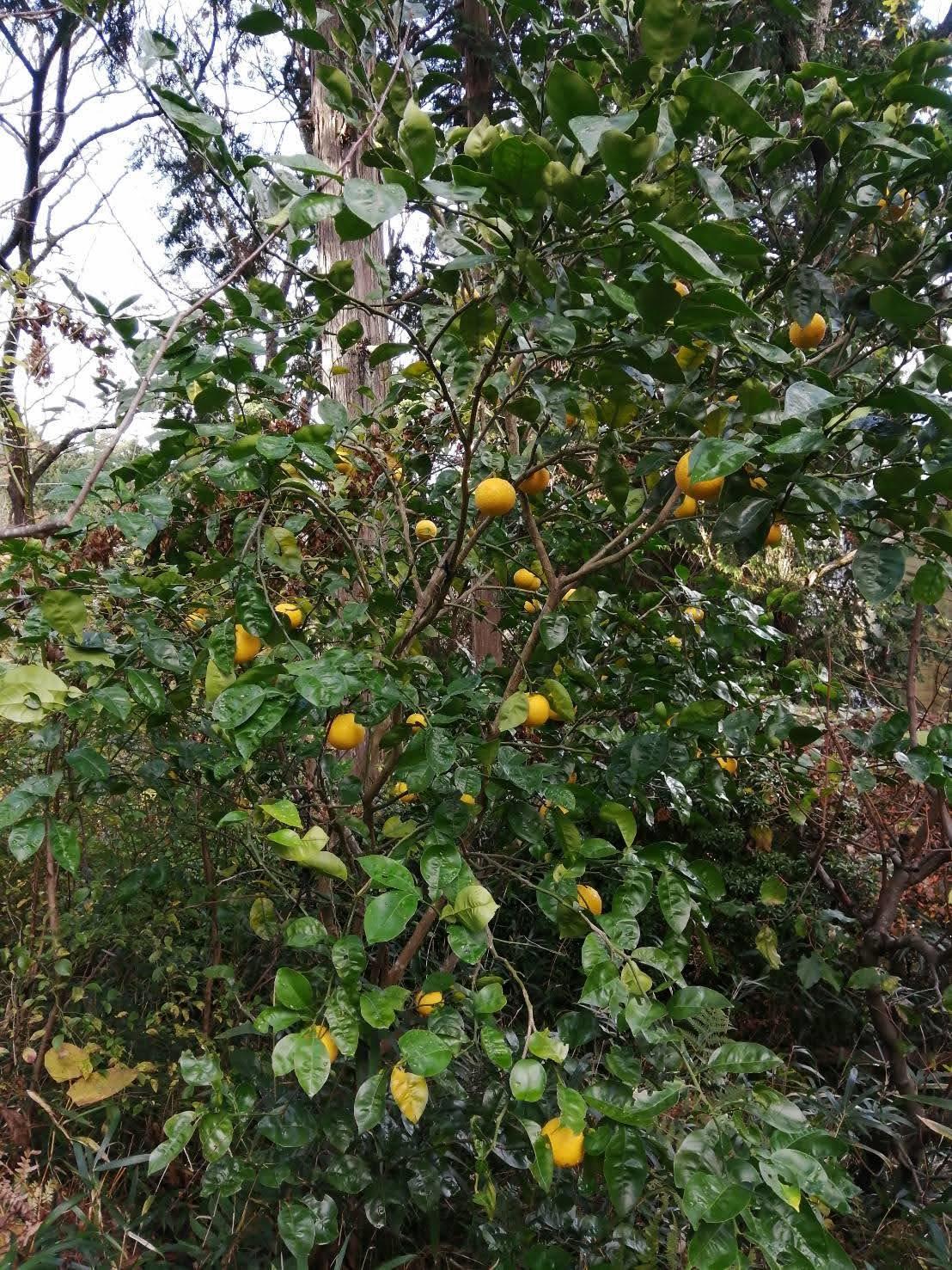 レモンがいっぱい!-英語のlemonは悪い意味?_c0019088_14231454.jpg