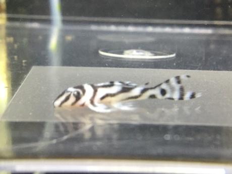 201203 熱帯魚 めだか 水草_f0189122_12461513.jpeg