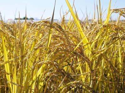 無農薬の『雑穀米』『発芽玄米』『米粉(微細粒米粉)』大好評販売中 稲刈りの様子2020(番外編)_a0254656_18113749.jpg