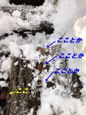 ナメコの収穫・・雪の中から。そういえば・・エノキタケも・・。_d0251572_15025291.jpg