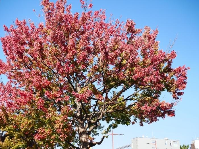 和歌山城公園の 紅葉・黄葉  2020-12-08 00:00_b0093754_21020496.jpg