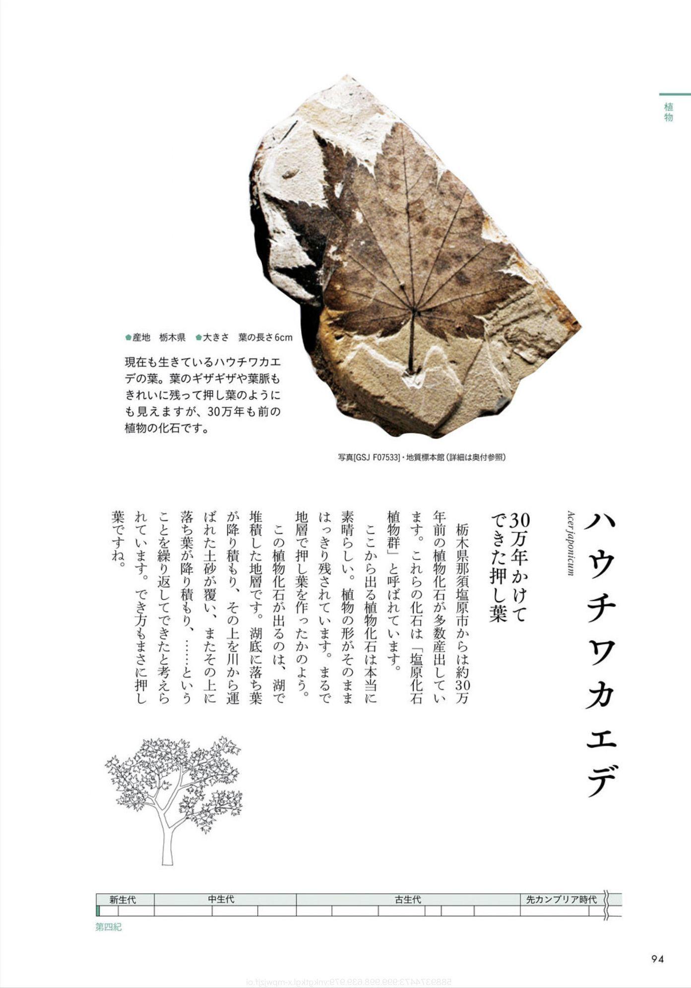 クワズイモとクマネズミと「ときめく化石図鑑」_c0025115_21581262.jpg