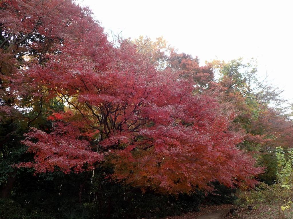 紅葉が見ごろです_b0049307_11394331.jpg