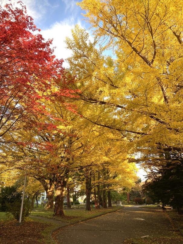 """2020年10月 『錦秋の札幌:八剣山、中島公園、北海道大学』October 2020 \""""Autumn Color in Sapporo\""""_c0219616_17575815.jpg"""