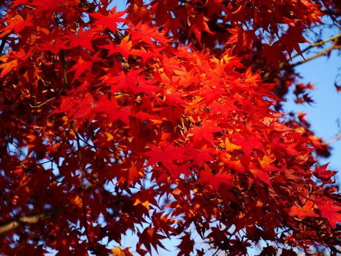 名残の紅葉、そして水仙、山茶花  2020-12-16 00:00_b0093754_23395386.jpg