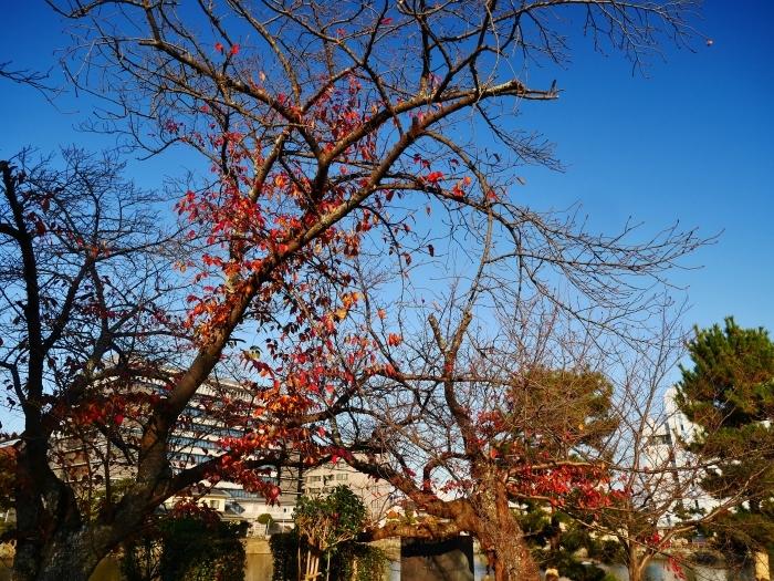 名残の紅葉、そして水仙、山茶花  2020-12-16 00:00_b0093754_23410890.jpg