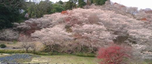 四季桜_b0117476_14343406.jpg