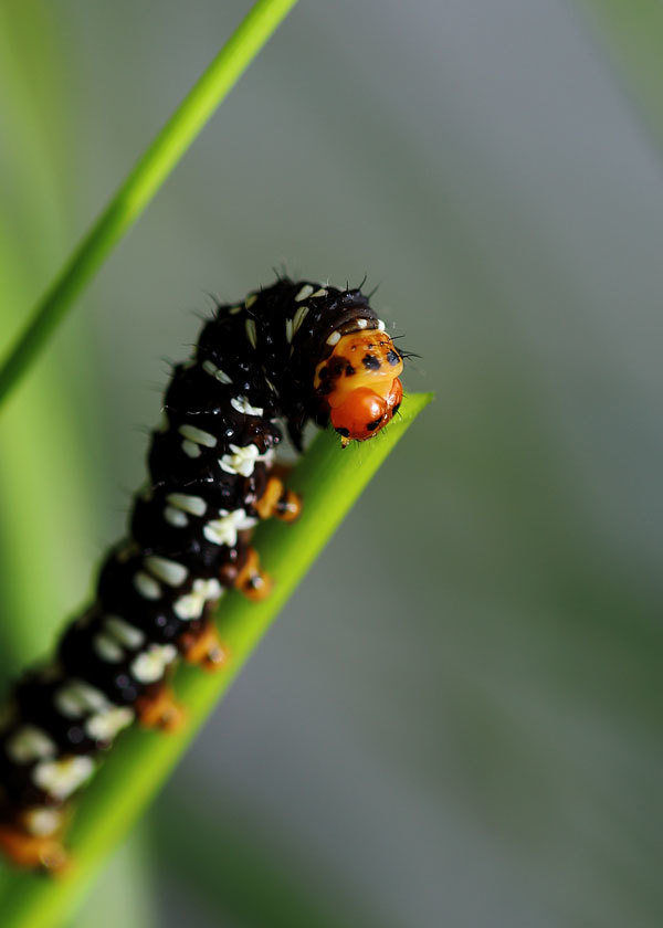 蝶の幼虫を探してもよくわかりません_b0025008_16475842.jpg