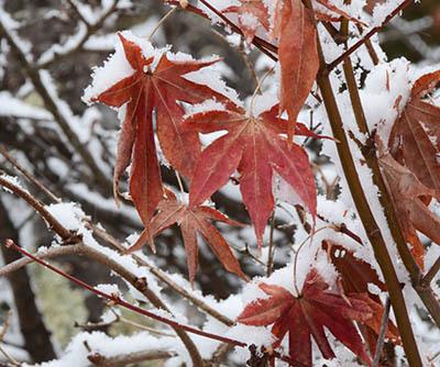 この冬2度目の雪で目立つカエデの赤い残り葉_e0005362_05411066.jpg
