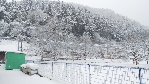 白菜を雪の中から収穫。_c0300035_14211849.jpg