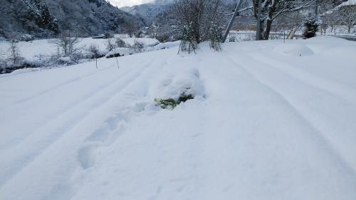 白菜を雪の中から収穫。_c0300035_14223323.jpg
