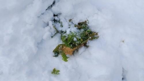 白菜を雪の中から収穫。_c0300035_14301759.jpg