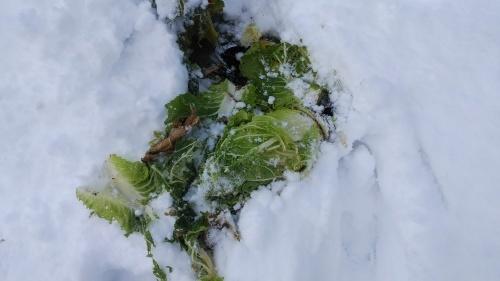 白菜を雪の中から収穫。_c0300035_14312669.jpg