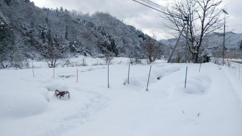 白菜を雪の中から収穫。_c0300035_14315353.jpg