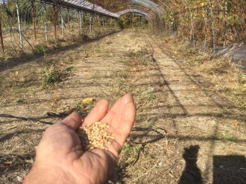 小麦種まき 2020_e0181260_04594003.jpeg