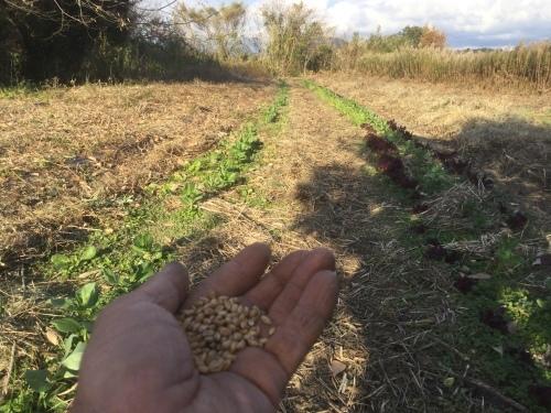 小麦種まき 2020_e0181260_05073977.jpeg