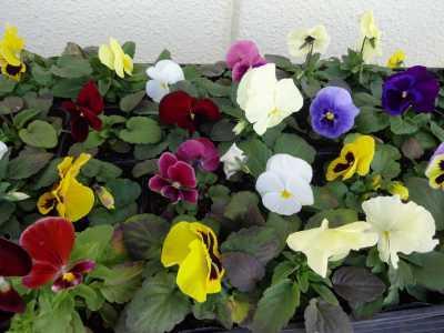 ガーデンふ頭総合案内所前花壇の植替えR2.12.14_d0338682_09282255.jpg