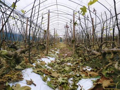 甘熟いちじく 今年も一気に落葉しこれから冬眠に入ります 落葉の様子2020_a0254656_17050350.jpg