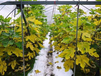甘熟いちじく 今年も一気に落葉しこれから冬眠に入ります 落葉の様子2020_a0254656_17125931.jpg