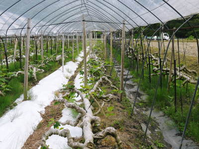 甘熟いちじく 今年も一気に落葉しこれから冬眠に入ります 落葉の様子2020_a0254656_17310437.jpg