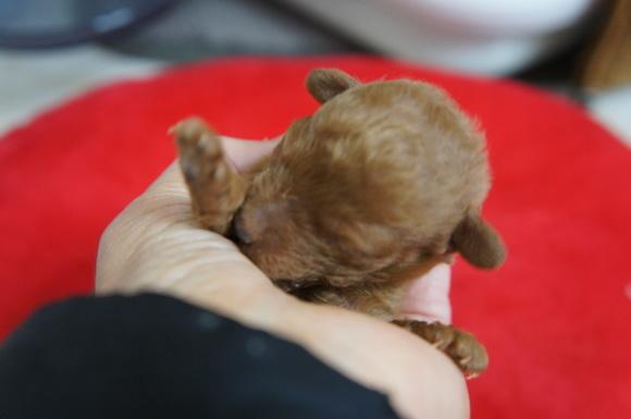 12月8日生まれのトイプードル女の子です。_a0388110_11261295.jpg