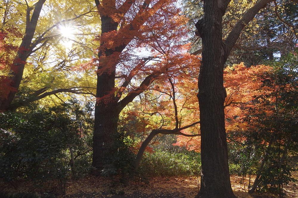 2020.12.15 東京・新宿御苑 紅葉   2020.12.21 (記)_a0181059_16152523.jpg