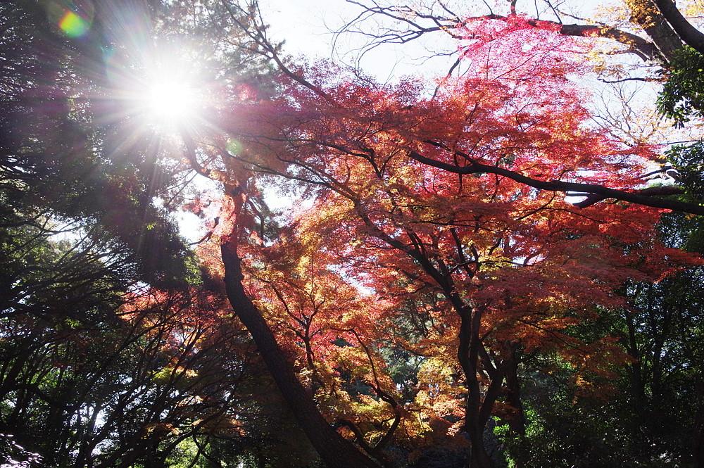 2020.12.15 東京・新宿御苑 紅葉   2020.12.21 (記)_a0181059_16435128.jpg