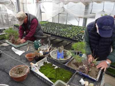 温室通信 正月用盆栽制作の様子_d0338682_15423349.jpg